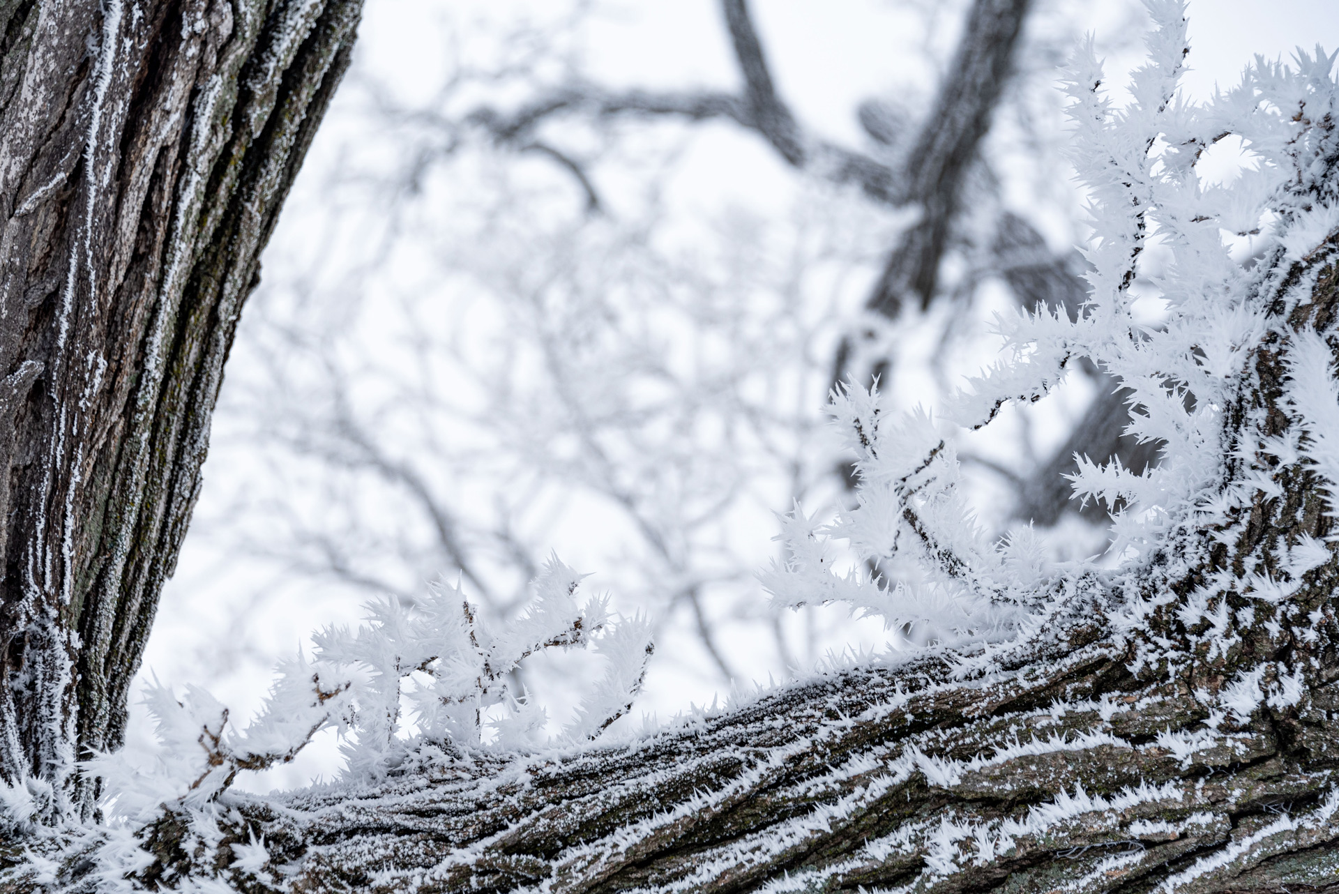 Frosty oak tree in winter