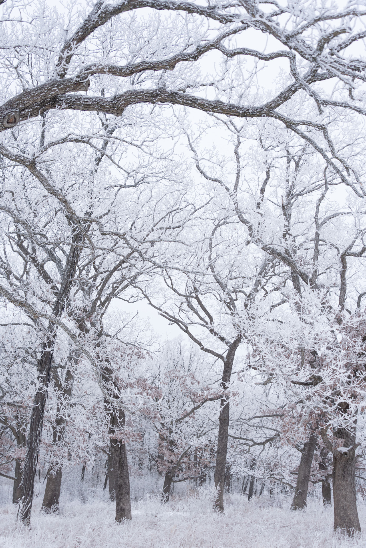 Frosty oak trees in winter